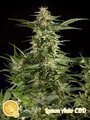 PHILOSOPHER SEEDS - Lemon Auto CBD