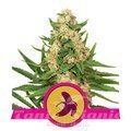 ROYAL QUEEN SEEDS - Fat Banana