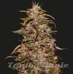KALASHNIKOV SEEDS - BIG ALTAI SATIVA EXPRESS