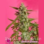 PHILOSOPHER SEEDS - Jack El Frutero