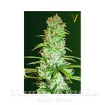 Victory Seeds - White Russian XXL