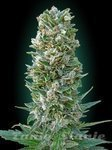 ADVANCED SEEDS - Heavy Bud