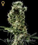 GREEN HOUSE SEEDS - Arjan's Haze #2