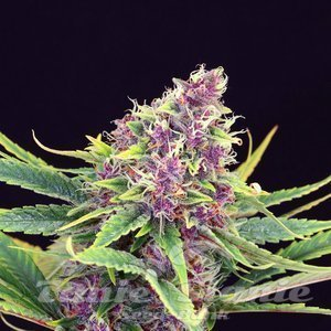 purple-kush-product-image-34.jpg