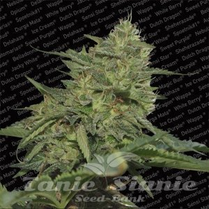 PARADISE SEEDS - Original Cheese