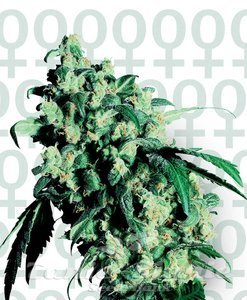 SENSI SEEDS - Super Skunk®