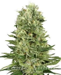 Biological Seeds - Skunk Automatic