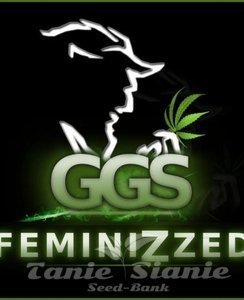 Grzech Grow Seeds - Guerilla Gold x Amnesia Haze (Fast Version)
