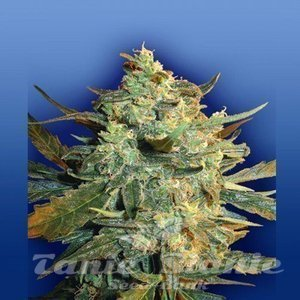 FLYING DUTCHMEN - Power Skunk