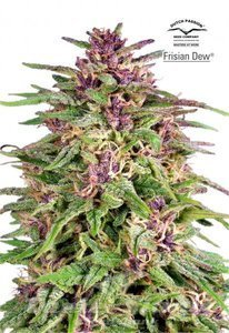 DUTCH PASSION - Frisian Dew