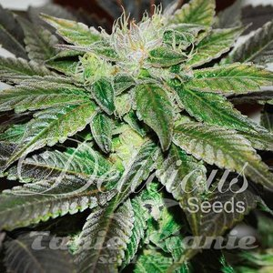DELICIOUS SEEDS - Sugar Candy